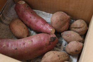 本当に美味しいのは?焼き芋にされている品種を比較!